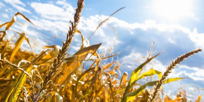 Dänemark führt Police gegen Ernteausfälle ein - deutsche Landwirte hoffen auf Zuschüsse und niedrige Steuern