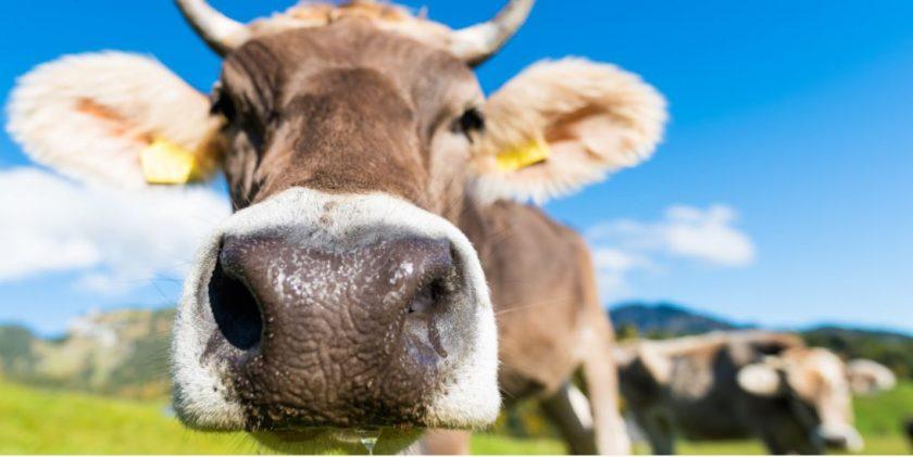 Neuer Muh-Fall: Österreich Kühe weiter auf Feldzug gegen deutsche Touristen