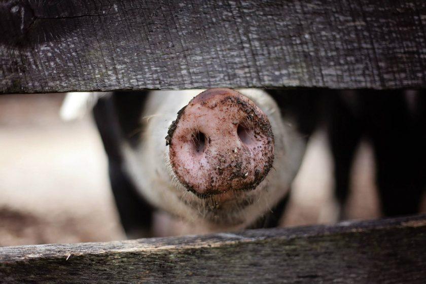 """Experten von Münchener und Magdeburger Agrar sehen """"Chance, dass Schweinepest genauso schnell eingedämmt wird wie in Belgien und Tschechien"""""""