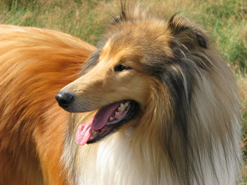 Lassie puscht die Haftpflicht